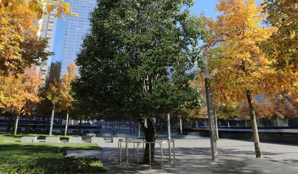 Ground Zero Survivor Tree